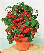 Mini Bell Tomato 25 Seeds Moon Gardens Simply Grown Beautifully