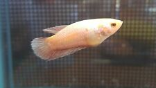 Platinum / dragon / copper Female Betta HMPK Halfmoon Plakat. Ready 2 breed!