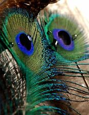 PHOTO MACRO NATURE PEACOCK FEATHER DETAIL COLOUR COOL POSTER PRINT BMP10725
