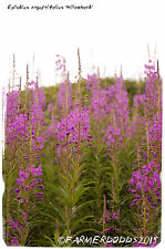 Epilobium angustifolium 'Rosebay Willowherb' [Ex. Co. Durham] 200+ Seeds