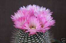 Notocactus rutilans parodia rare exotic cactus collection flower cacti 150 SEEDS