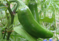 Pepper Seeds ~ Jalapeno Chili ~ Bulk ~ Canada's Popper Pepper Mmm ~ 200+ Seeds
