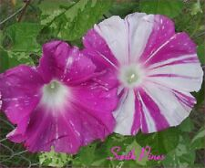 Miko no Mai - Japanese Morning Glory Seeds - ipomoea nil - Sibyl's Dance - VHTF