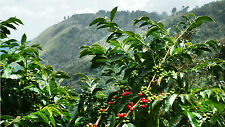 Coffee Bean Plant Seeds - JAMAICA BLUE MOUNTAIN - Rare Coffee Bean - 50 Seeds