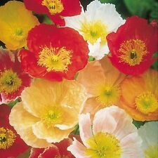 Papaver nudicaule 'Artist's Glory'/Iceland Poppies /Hardy Perennial/ 1000 seeds
