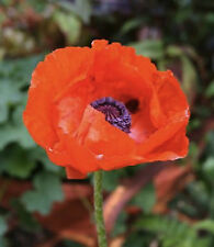 Oriental Poppy Seeds, Papaver orientale, FREE SHIPPING!