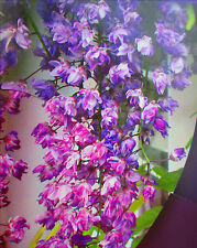 8ft Wisteria Black Dragon - double flower - 7litre size, 8ft inc. pot - GRAFTED