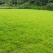 10000pc Tall Fescue Green Grass Seed Festuca Arundinacea Lawn Field Turf Seeds #