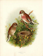 HENRIK GRONVOLD - A PAIR OF LINNETS - ANTIQUE CHROMO LITHO  PLATE (c.1900)