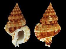 Nassaria acuminata acuminata - Shells from all over the World