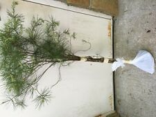 ITEM#REG.  WHITE PINE TREE 3 FOOT STARTER TREE SEEDLING 36 INCH