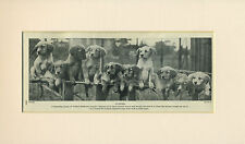 GOLDEN RETRIEVER GROUP OF PUPPIES OLD 1930's DOG PRINT MOUNTED READY TO FRAME