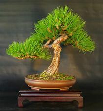PINO AUSTRIACO-Pinus Nigra - 30 SEMI BONSAI