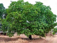 CASHEW NUT- APPLE TREE LIVE HEALTHY HYBRID