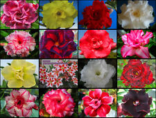 "New! Adenium Obesum Desert Rose ""Mixed"" 110 Seeds FRESH"
