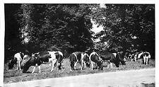 77 OZOUER-LE-REPOS FERME DE BUISSEAUX VACHES HOLLANDAISES IMAGE 1952
