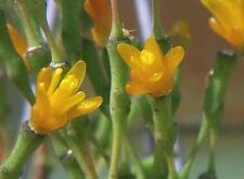 Dancing Bones, Drunkard's Dream, Hatiora salicornioides succulent plant 4cm