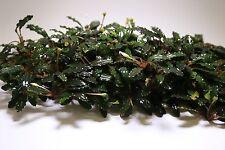 Bucephalandra Black Venti Clump Rare Live Aquatic Plant for Aquascaping