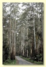 MOUNTAIN ASH (Eucalyptus regnans) 50 seeds
