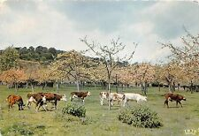 BF38554 paturage normand france  cow vache animal animaux