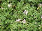 HERB - ORANGE SCENTED THYME - THYMUS FRAGRANTISSIMUS - 0.1 Gm ~ APPROX 570 SEEDS