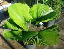 Ruffled Fan Palm - LICUALA GRANDIS - 5 x Fresh Tropical Seeds