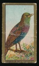 1910 T42 Sweet Caporal BIRD SERIES (Gold) -Starling *Tough Factory 25*