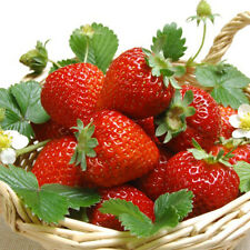 150Pcs Giant Strawberry Seeds Excellent High in Vitamin Fruit Seeds Plant