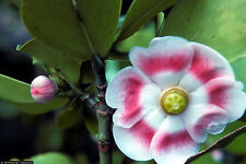CLUSIA ROSEA major autograph tree exotic balsam apple cuba native seed 10 SEEDS