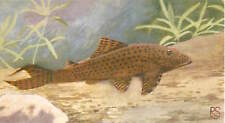 OLD CARD IMAGE : Hypostomus plecostomus Sucker catfish Pleco FISH POISSON