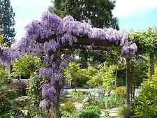 """Wisteria Vine(Wisteria sinensis)  6-12"""" 2Plants $4.99"""