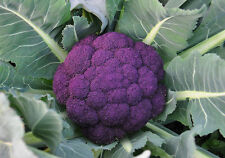 300+ Purple Sprouting Broccoli rare cold hardy Heirloom Seeds Organic NON-GMO