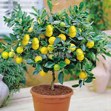 20Pcs Rare Lemon Tree Indoor Outdoor Available Heirloom Fruit Seeds Love Garden