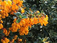 Berberis darwinii (20 graines/seeds )