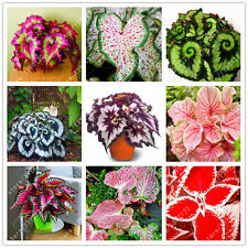 24 colors 100 PCS BEGONIA Flower Seeds Potted Bonsai Mixed Beautiful Color