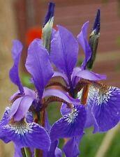 20 Samen Blaue Sumpfschwertlilie - Iris sibirica