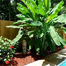 Tropical *GIANT* Edible BANANA Tree Plant Fruit Seeds (Musa Acuminata) 10+ Pack