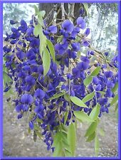 AFRICAN TREE WISTERIA, FRESH SEEDS, MAGNIFICENT FLOWERS, 20+ FRESH SEEDS