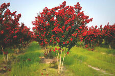 "25 RED ROCKET CREPE MYRTLE SEEDS - Lagerstroemia indica "" Red Rocket """