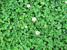 4 lb WHITE DUTCH CLOVER Seed Lawn Groundcover Seeds Nitro-coated Inoculated