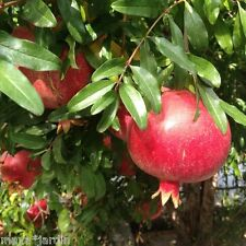 100 graines Grenadier (Punica granatum) Pomegranate Fruit Samen Seeds