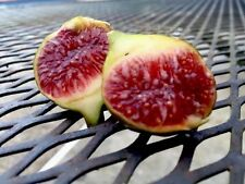 2 Bourjassotte Grise Fig Tree Cuttings - Rare French Fig Cultivar- LAST TWO!