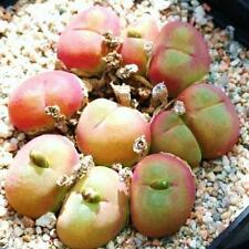 GIBBAEUM CRYPTOPODIUM succulent rare ice living rocks mesembs seed  50 SEEDS