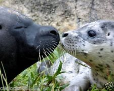 Seal Pup / Seals 8 x 10 GLOSSY Photo Picture IMAGE #7