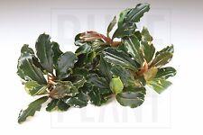 Bucephalandra Brownie Athena Rare Live Aquatic Plant for Aquascaping