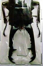 Giraffe Stag-Beetle Prosopocoilus giraffa keisukei 105mm Male FAST SHIP FROM USA