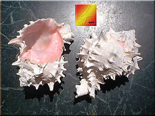 "Pink Murex Shell Seashell 3""-4"" Beach Wedding Hermit Crab Decor Craft"
