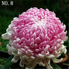 Colorful Chrysanthemum seed  courtyard plant balcony home garden 30 seeds NO.8