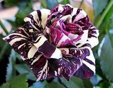 25 semi ROSA BLACK DRAGON - rosa rarissima seeds - SUPER PREZZO