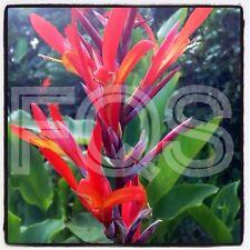 15 x Tropical CANNA Semi Fiore ROSSO/GIALLO (IMPIANTO alto)